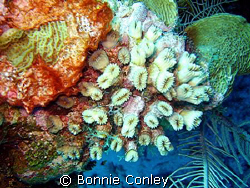 Flower Coral seen July 2008 at Grand Cayman. Photo taken ... by Bonnie Conley