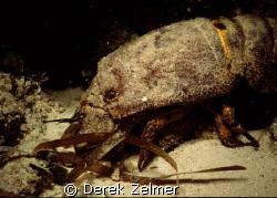 Spanish lobster - night shot, San Salvador Bahamas, Nikon... by Derek Zelmer