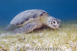 Green turtle munching on the seagrass of Derawan island by Erika Antoniazzo