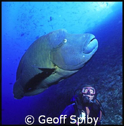 Napoleon wrasse at Fish Head in Ari Atoll, Maldives by Geoff Spiby