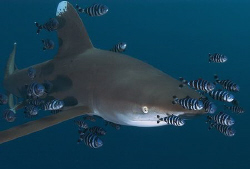 Oceanic shark with pilot fish D100 12-24mm by Eric Orchin
