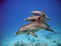 4 Dolphins (3 adults and 1 baby behind, count the tails...) by Samantha Fouwels
