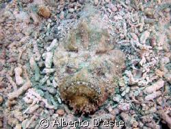 Stonfish in Derawan Est Borneo by Alberto D'este