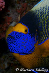Angelfish Portrait by Barbara Schilling
