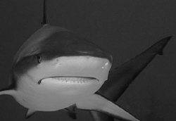 Reef Shark.  60 mm macro lens. by David Heidemann