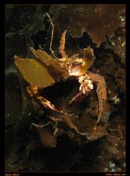 Decorator Crab....Decorating.  Found in Victoria, British... by Stephen Holinski