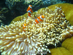 Clown Fish family that I came across on the Great Barrier... by Andrew Grant