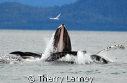 Bubblenet feeding in South East Alaska - Humpback whales by Thierry Lannoy