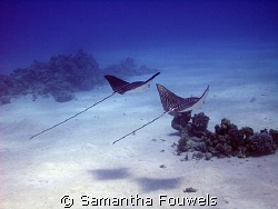 Couple of Eagle rays by Samantha Fouwels