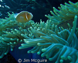 This Anemone and the pinks who live there are always good... by Jim Mcguire