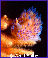 Bonisa nakaza -the gas-flame nudibranch, common in the wa... by Geoff Spiby