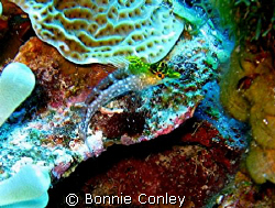 Diamond Blenny seen July 2008.  Photo taken with a Canon ... by Bonnie Conley