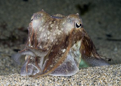 Cuttlefish. Lamorna cove. Cornwall. D200, 60mm. by Derek Haslam