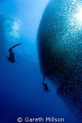 Two of four Whale Sharks cruising a Baitball.  Shot just ... by Gareth Millson