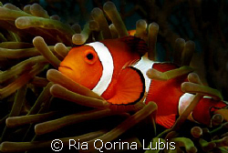Clown fish taken @ Sangyang Island by Ria Qorina Lubis