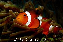 Clown fish taken @ Sangyang Island by Ria Qorina Lubis