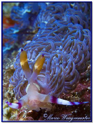 Nudibranch (Pteraeolidia ianthina) want to climb onto my ... by Marco Waagmeester