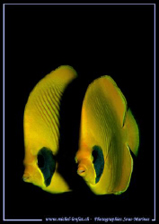 Two unseparable Buterfly fishes... :O)  by Michel Lonfat