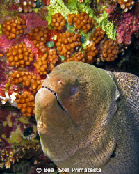 Giant Moray eel. (Gymnothorax javanicus) by Bea & Stef Primatesta