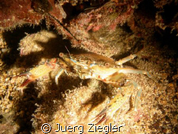 Crab during night dive by Juerg Ziegler