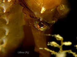 seahorse side view - Canon A640, double INON macro, Z240 by Ng Steven