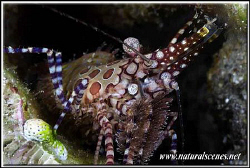Not so easy to get a face shot of thoses marbled shrimps ... by Yves Antoniazzo
