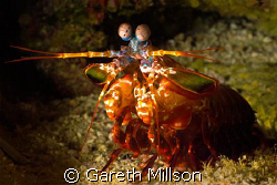 Get out of my cave!!  Mantis shrimp defends it's cave fro... by Gareth Millson