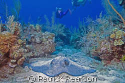 Southern Stingray and divers in the beautiful Cayman isla... by Patrick Reardon