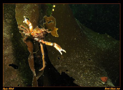 Attack! Decorator crab unhappy with my camera lens!  Cano... by Stephen Holinski