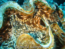 Giant clam by Raoul Caprez