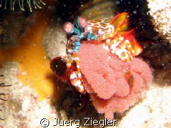Mantis Hammer Shrimp with eggs!  Hopy you all like this... by Juerg Ziegler