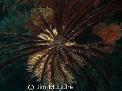 This Feather Star Crinoid on coral made a beautiful contr... by Jim Mcguire