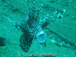 A Common Lionfish with it's mouth open.  Taken in July 20... by Lucy Chamberlain