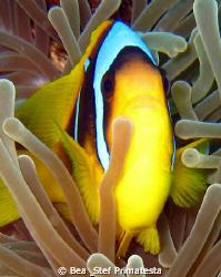 Clown fish (Amphiprion bicinctus) by Bea & Stef Primatesta