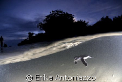 Baby turtle just released at sunset, carried away by a wa... by Erika Antoniazzo
