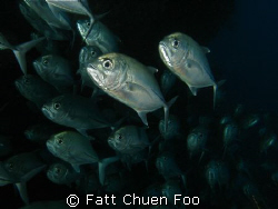 School of Trevally, Sipadan. Canon G9 , two Inon strobes by Fatt Chuen Foo