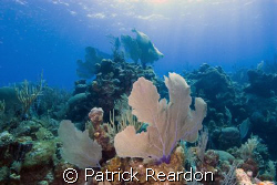 Sea fan and coral in Grand Cayman.  Hope the islanders an... by Patrick Reardon