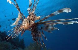 Lion Fish.. by Eric Orchin