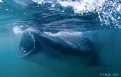 whaleshark, mexico, nikon d200 by Steffen Binke