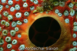"Red Coral, but my daughter calls this one ""Eyeballs"". by Mordechai Saxon"