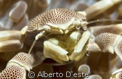 Anemone Crab or Tanker Crab? by Alberto D'este