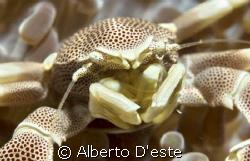 Anemone Crab or Tanker Crab? by Alberto D'este