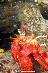 Hermit crab with anemon (Dardanus calidus & Calliactis pa... by Bea & Stef Primatesta