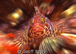 Cape clinid, False Bay, Cape Town by Geoff Spiby