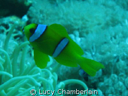 An Anemone Fish, taken in the Red Sea in 2007 by Lucy Chamberlain