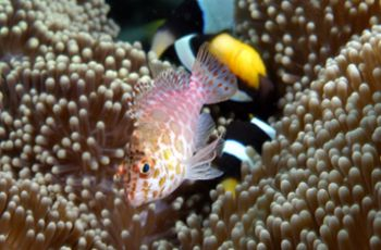 Splendid Hawkfish cohabitating with anemone fish. Milne B... by Andy Lerner