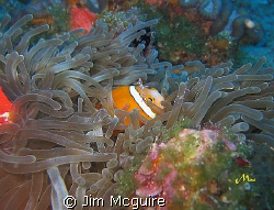 This little shrimp perched on the head of this two stripe... by Jim Mcguire