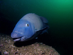 Blue Groper, Bare Island by Doug Anderson