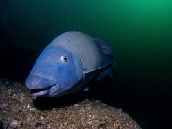 Blue Groper, Bare Island by Doug Anderson