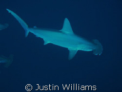 Awesome dive with 13 Hammerheads for 20 minutes, we were ... by Justin Williams